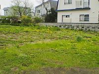 タンポポ畑