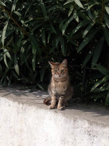 tunisian cat-1