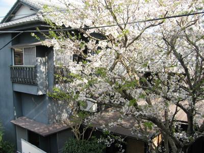 富屋旅館の桜