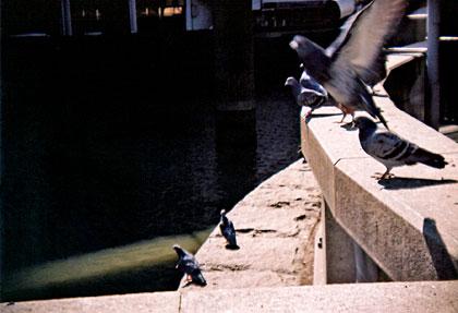 日本橋の鳩