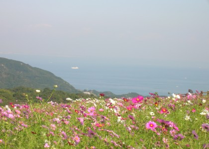 09コスモス ブログ