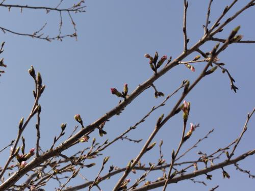 おおとうの桜