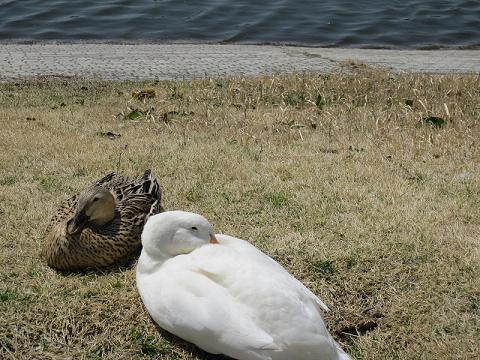 SAの池にいたあひるさん、昼寝中