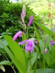 シラン 紫