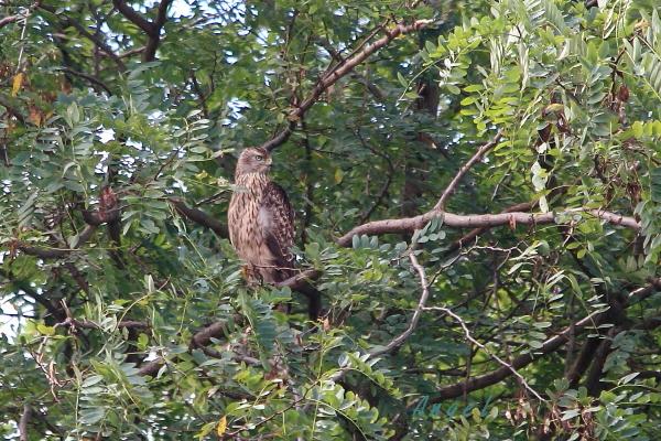 オオタカ若鳥(43141)