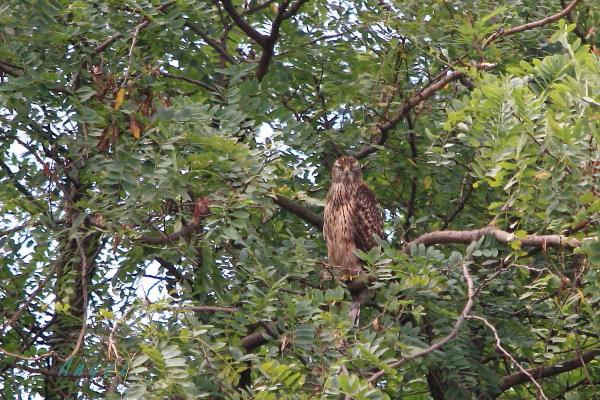 オオタカ若鳥(43172)