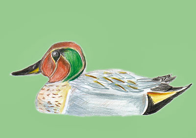 Common Teal X Baikal Teal