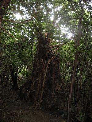 途中の大木