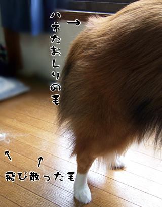 ハネた毛(>_<;