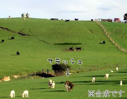ニュージーランドの草原で走るフラッシュ♪