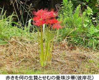 赤きを何の生贄にせむの曼珠沙華(彼岸花)