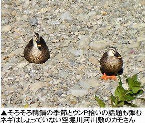 空堀川河川敷のカモさんたち.jpg