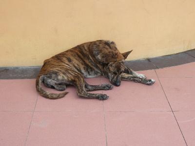 バリ島ののら犬