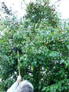 pear hunting