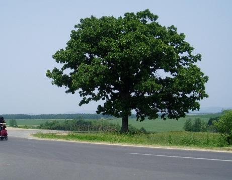 *2008年のセブンスターの樹*