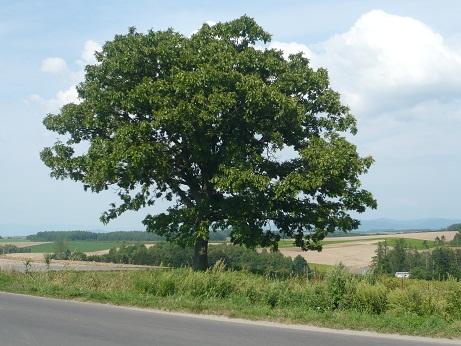 *セブンスターの樹*