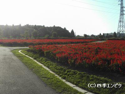 花の丘 サルビア