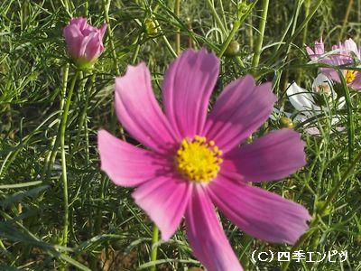 花の丘 コスモス 3