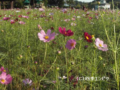 花の丘 コスモス 2