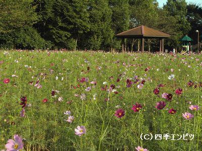 花の丘 コスモス