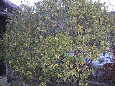 10000坪の果樹園で、金柑がたくさん。。。。。。