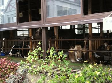 飯田牧場の牛さんたち