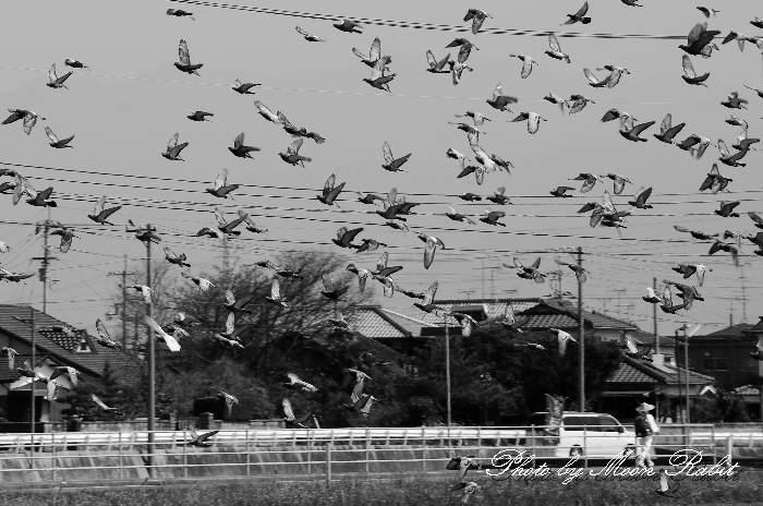 歩き遍路とハト(鳩)の群れ 国道196号 愛媛県西条市河原津