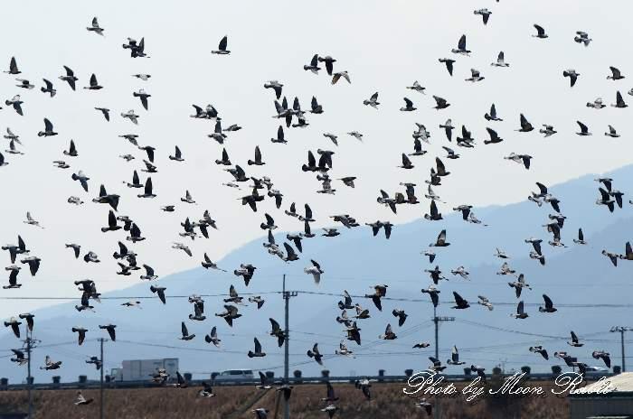 今治小松自動車道とハト(鳩)の群れ 愛媛県西条市河原津