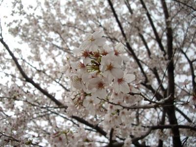 桜独り占め