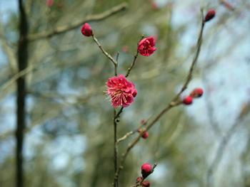 3四季の庭の梅
