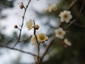 2四季の庭の梅