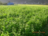 H230910蕎麦の花