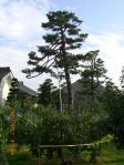 H230911お寺の松