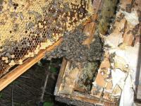 H230924ミツバチ巣手入れ
