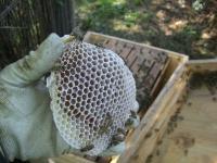 H230929ミツバチの無駄巣