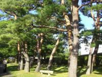 H231004城山公園の松