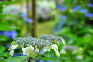 3紫陽花11.07.31