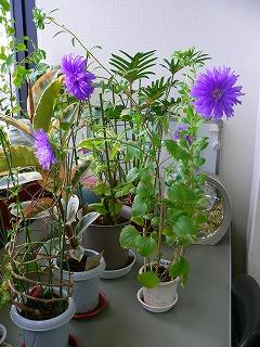 写真キャプション=事務所のなかに春の雰囲気を醸しだしてくれる「アスター」の花