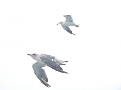 佐渡の海上をたくましく飛び続けるカモメの勇姿