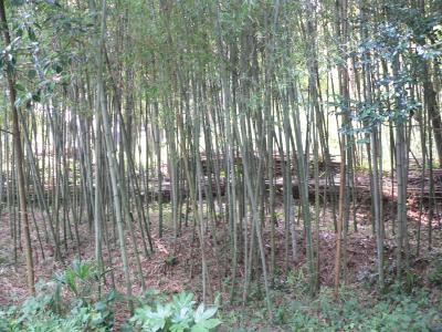 佐渡屋太郎倒れた竹を伐採・整理して、きれいで明るくなったわが楽園の竹薮
