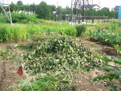 佐渡屋次郎によって切り落とされ、畑に積み上げられていった雑木の枝の一部
