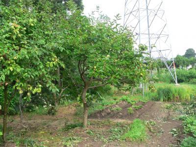柿木の枝を払い、明るくきれいになった畑