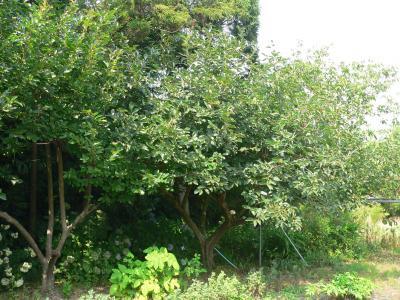 柿木を中心にして、枝を茂らせる雑木林