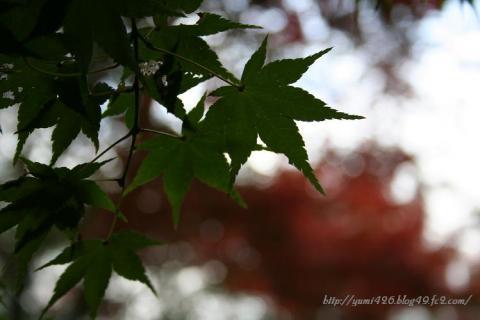 青い もみじの葉。