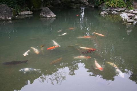 大きな鯉が優雅に泳ぐ池♪
