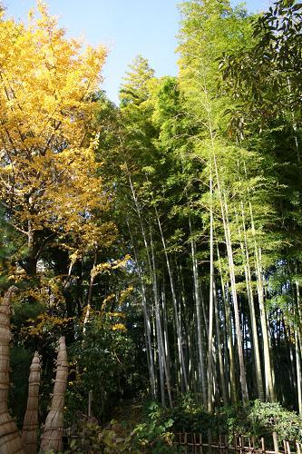 竹とイチョウw