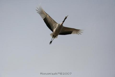 タンチョウ鶴の放鳥