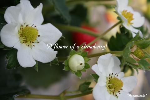 苺の花は 真っ白~♪