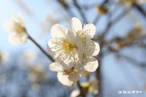 梅の花と青い空w