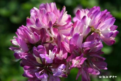 蓮華の花束ww